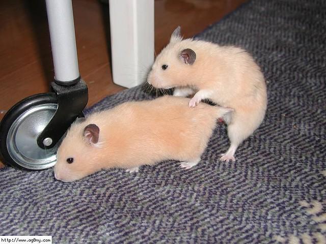 Hamster de porno