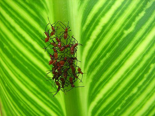 Baby Assassin bugs | Safety in numbers! | Steven | Flickr