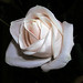 A rose is a rose is a rose......