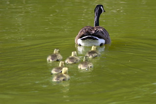 First of the Season - Canada Geese Goslings! | by Rick Leche