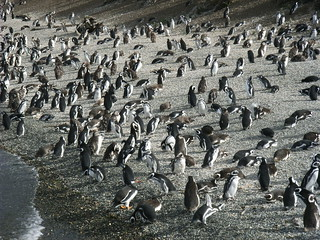 penguins | by Ginas Pics