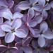 The Sweet Scent of Lilac