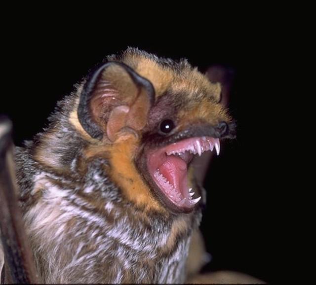 Hoary Bat