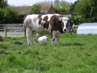 The Colonel: World's Biggest Cow with Normal Sized Cow Underneath for Scale | by rosecarmady
