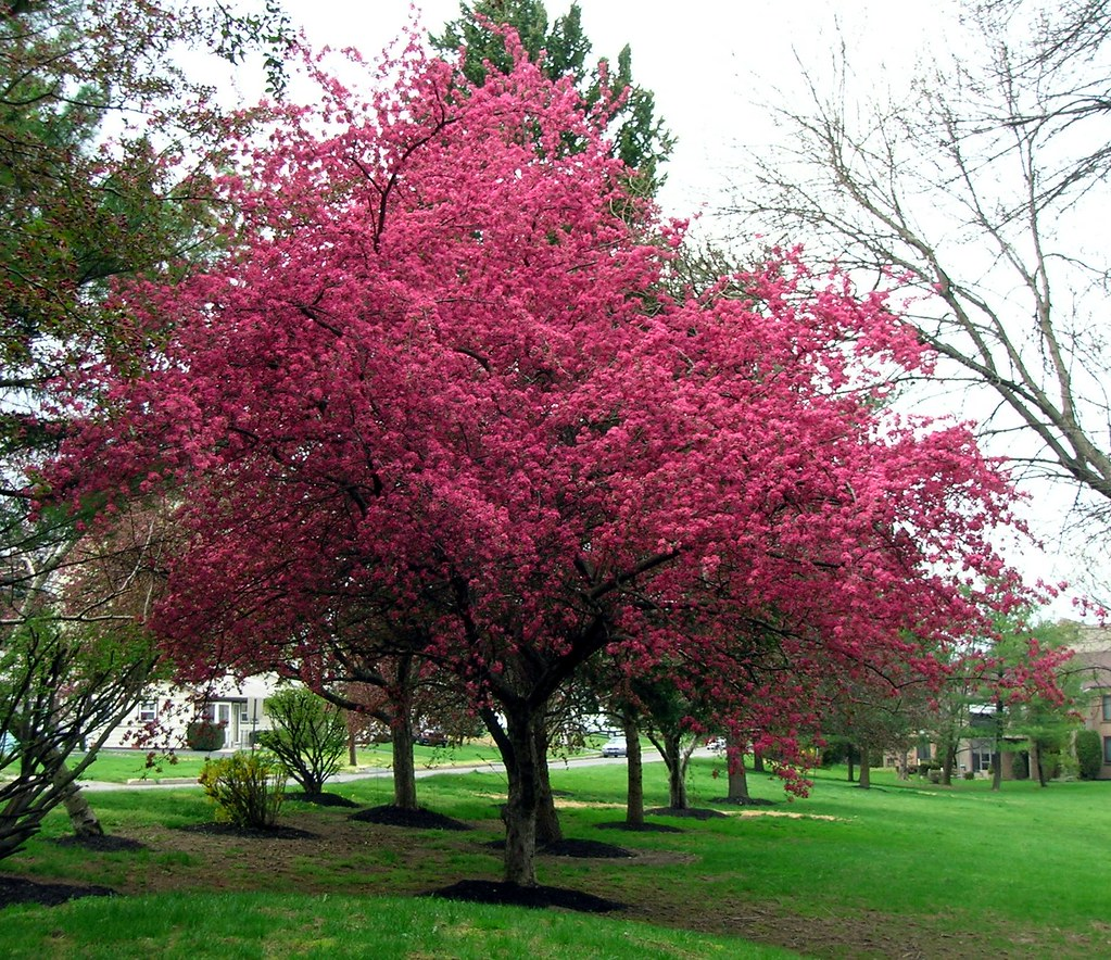 Dark pink flower tree jilebee flickr dark pink flower tree by jilebee mightylinksfo