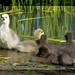 Lesser Snow Goslings