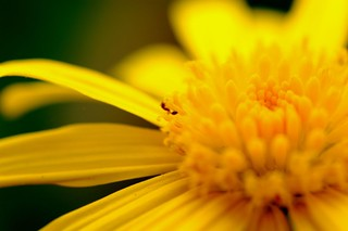 blurring yellow daisy | by i'm Jac