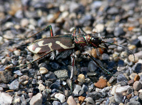 Tiger Beetle | by BugMan50
