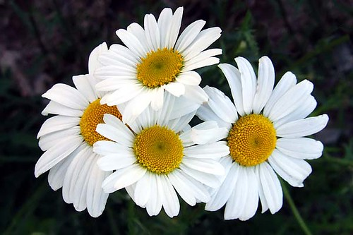 four white daisies  clyde barrett  flickr, Beautiful flower