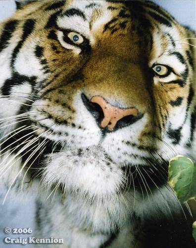 close up siberian tigers face   close up siberian tigers ...