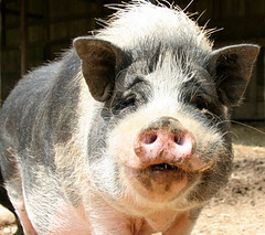 smiling_pig | by rikkis_refuge