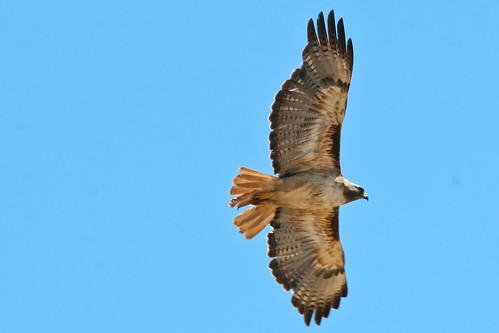 Hawk-20150620-11