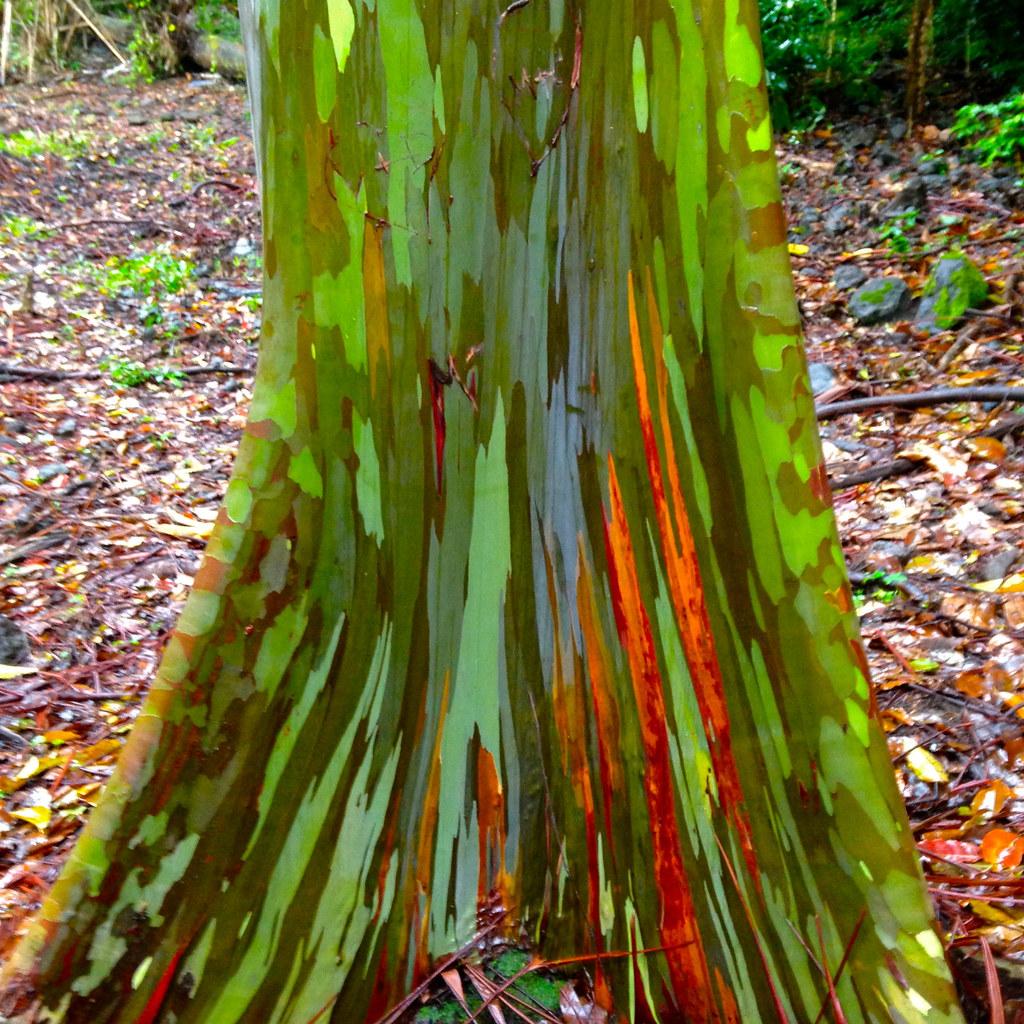 road to hana rainbow eucalyptus tree maui hi rainbow eu flickr