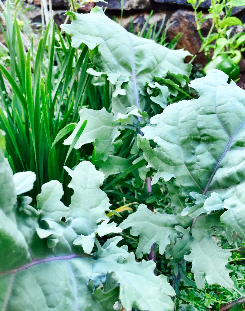 Red Russian Kale, Garlic Chives  Rosa Say  Flickr