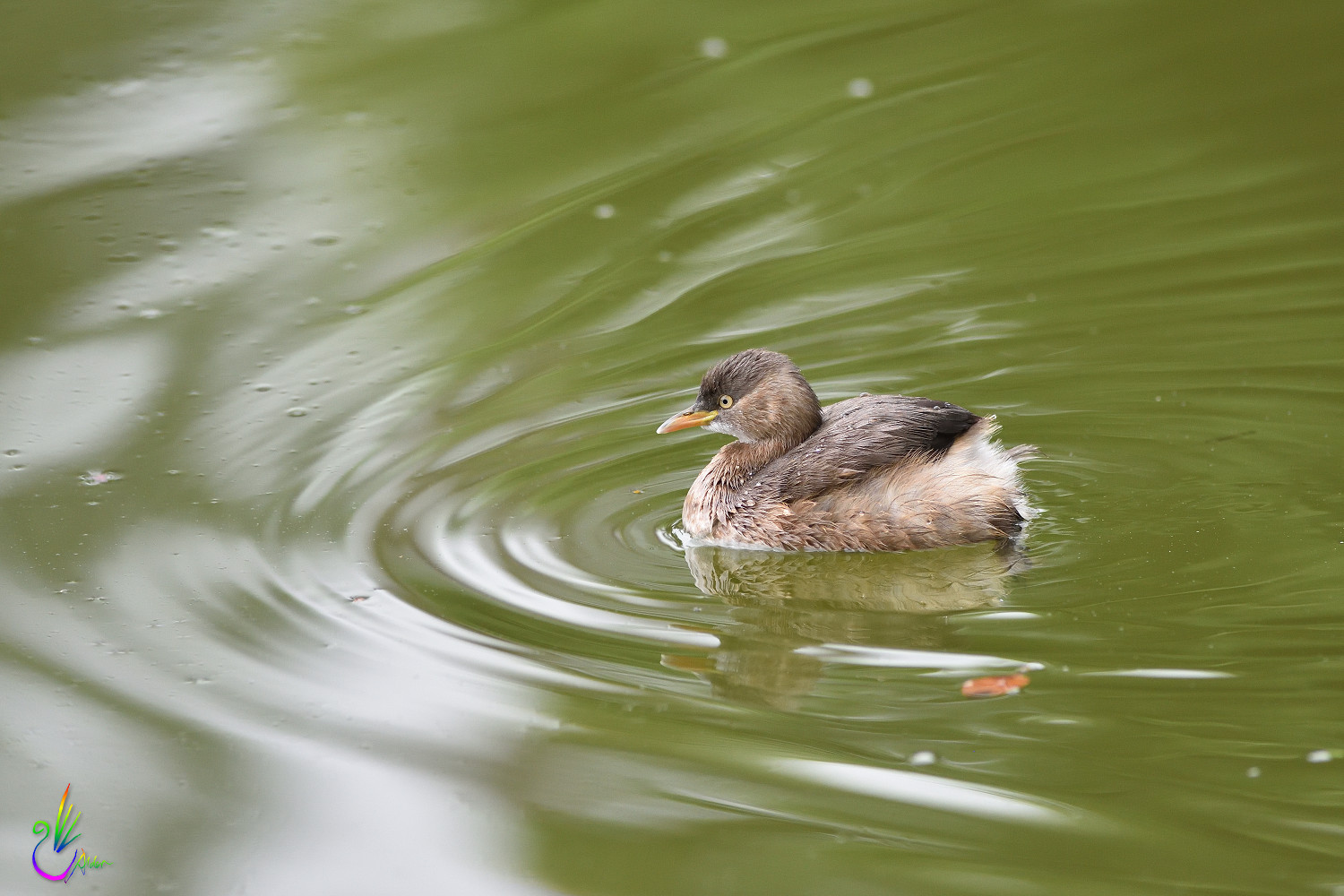 Little_Grebe_8703