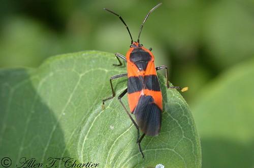 Oncopeltus fasciatus (Large Milkweed Bug)