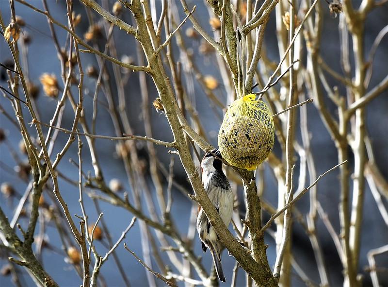 Sparrows 03.02 (4)