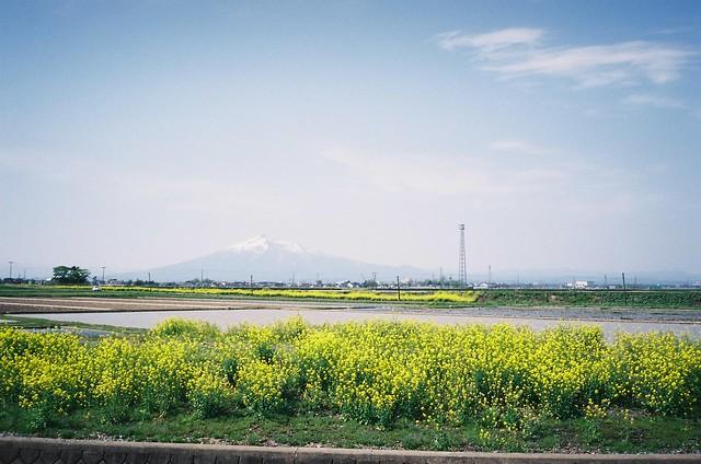 Field mustard and Mt. Iwaki