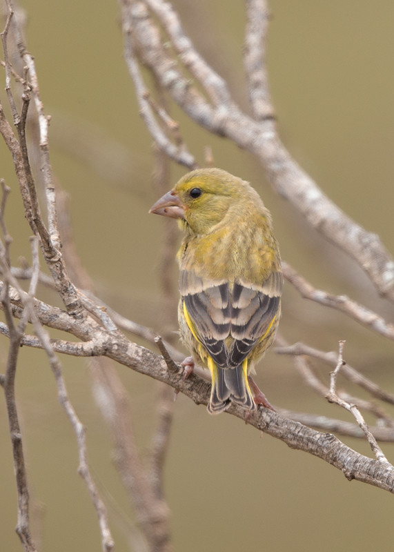 Greenfinch   Morocco