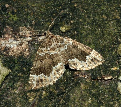 Devon Carpet 7530