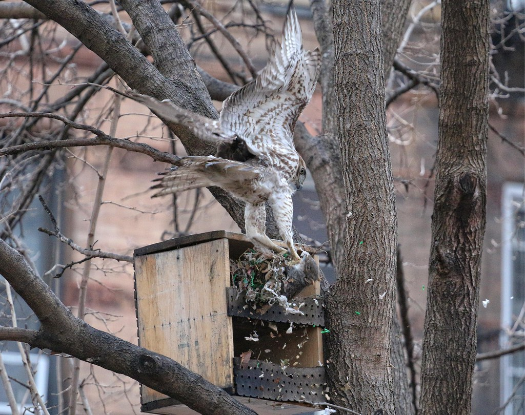 Juvenile red-tail raids a squirrel nest