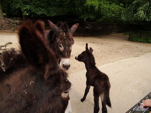 Eisbär Fiete im Zoo Rostock 20.06.2015  73