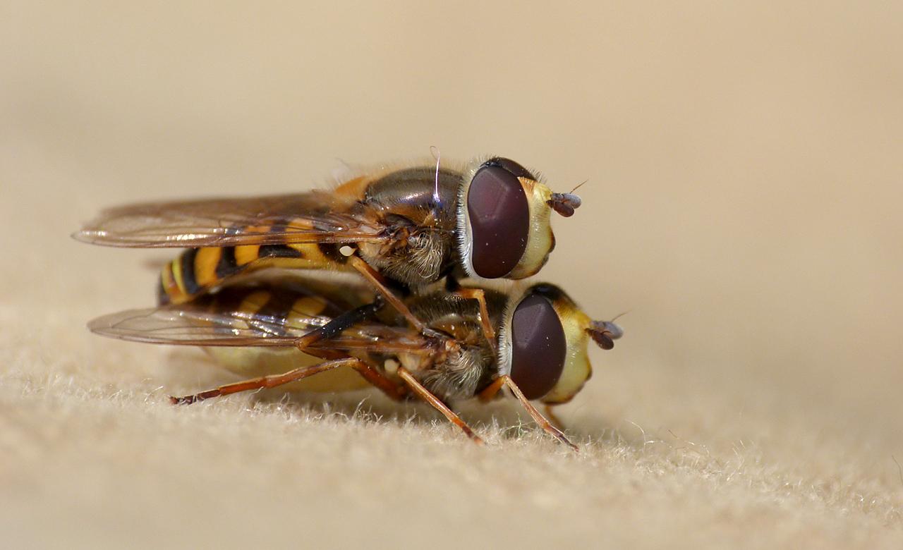 Hoverflies mating