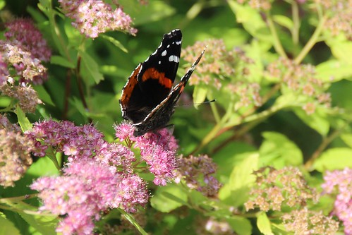IMG_5663_Red_Admiral_Butterfly