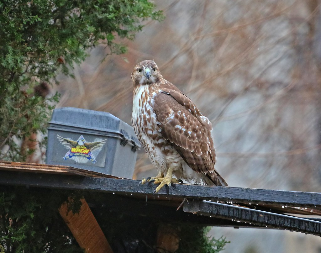 Juvenile red-tail in the rain