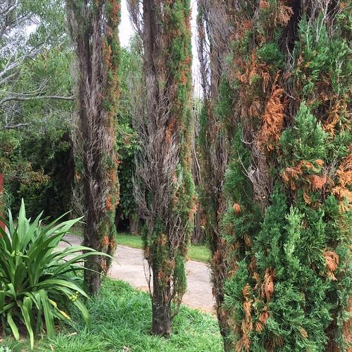 Italian Cypress Pacific Beetle Roach Injury Scot Nelson