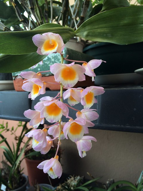 Dendrobium farmeri 18588453820_873f526425_z