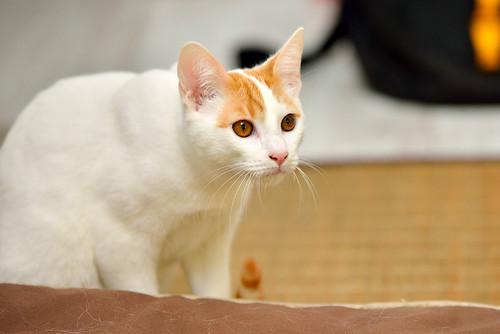 Gary, gatito blanco y naranja cruce Van Turco esterilizado muy activo nacido en Julio´16, en adopción. Valencia. ADOPTADO. 31705908715_832557fe53