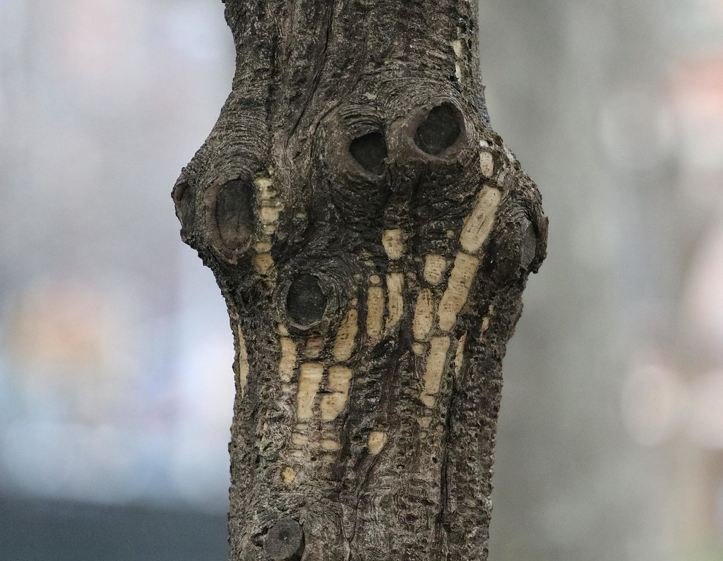 Evidence of a sapsucker