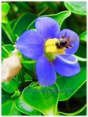 Closeup of Exacum affine (Persian Violet, Exacum Persian Violet), 14 June 2013