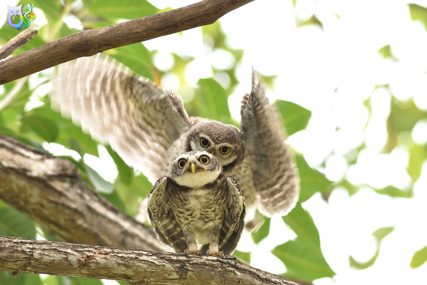 Spotted_Owlet_3270