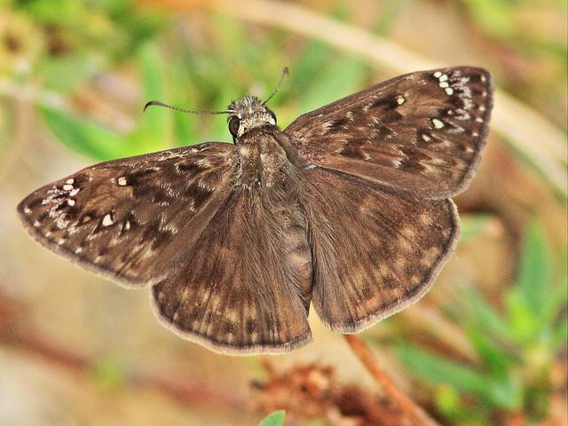 Horace's Duskywing - Erynnis horatius 4-20150605