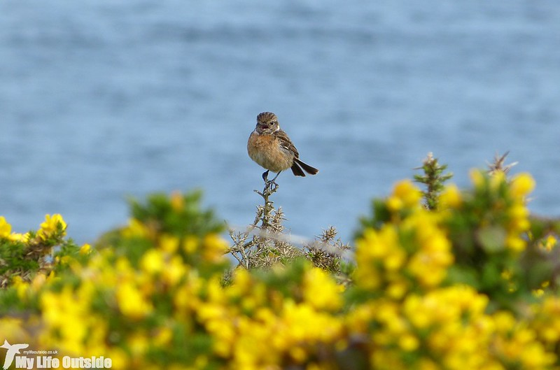 P1130086 - Stonechat, Martin's Haven