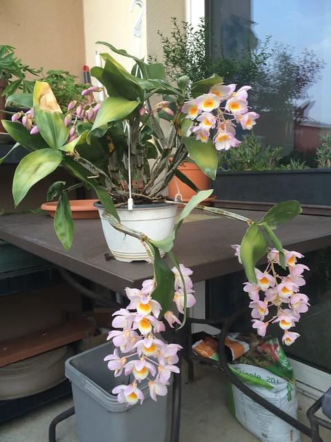 Dendrobium farmeri 18153550494_b75a6d6cde_z