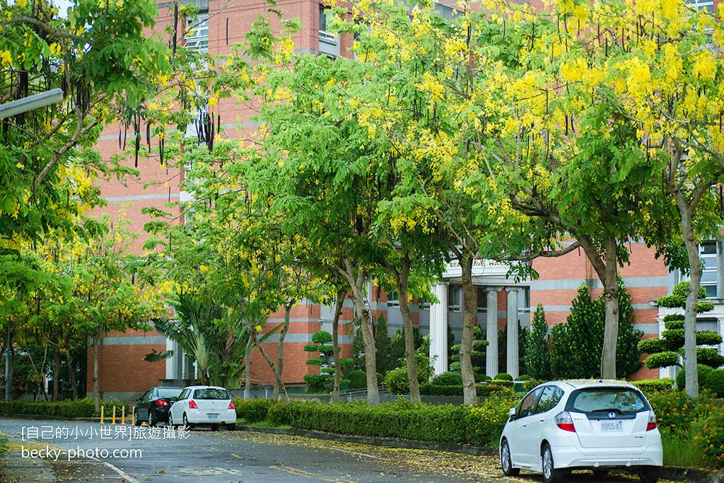 2015.May Cassia fistula @Taichung亞洲大學阿勃勒
