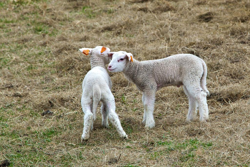 Sheep-22