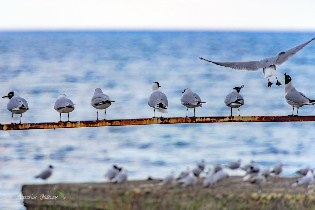 Black sea Gulls on Beach shore