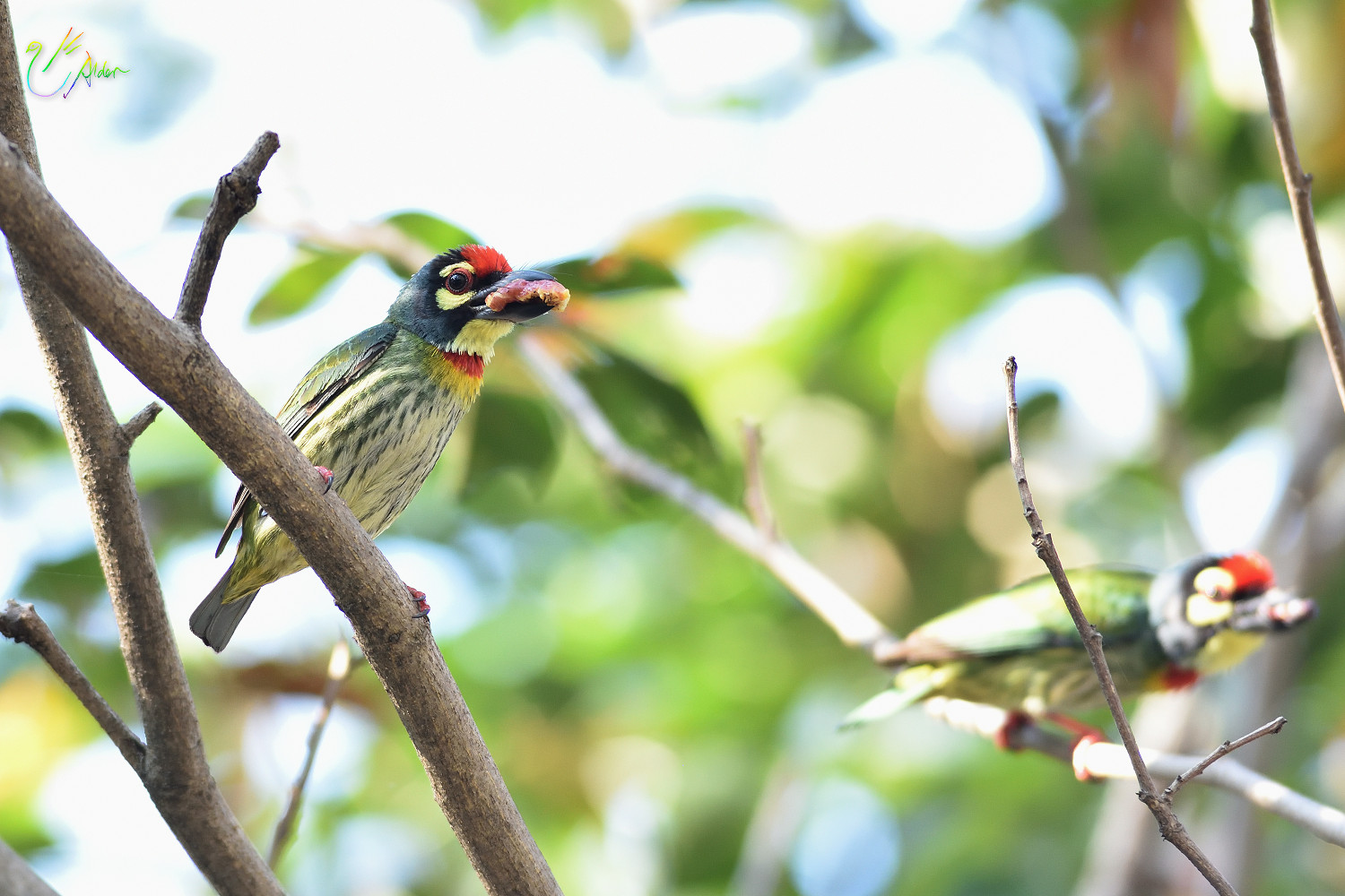 Coppersmith_Barbet_8711