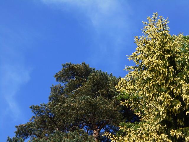 Metsämänty (Pinus sylvestris) ja kultakuusi (Picea abies f. aurea) untuvapilvien kera 12.6.2015 Meilahden arboretum Helsinki