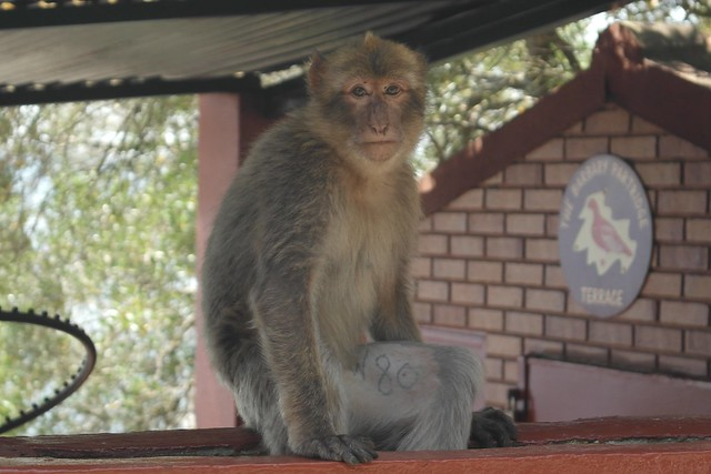 Macaque N80, on parole?