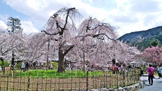 34 京都 嵐山渡月橋 賞櫻 櫻花 Saga Par 五色霜淇淋 彩色霜淇淋