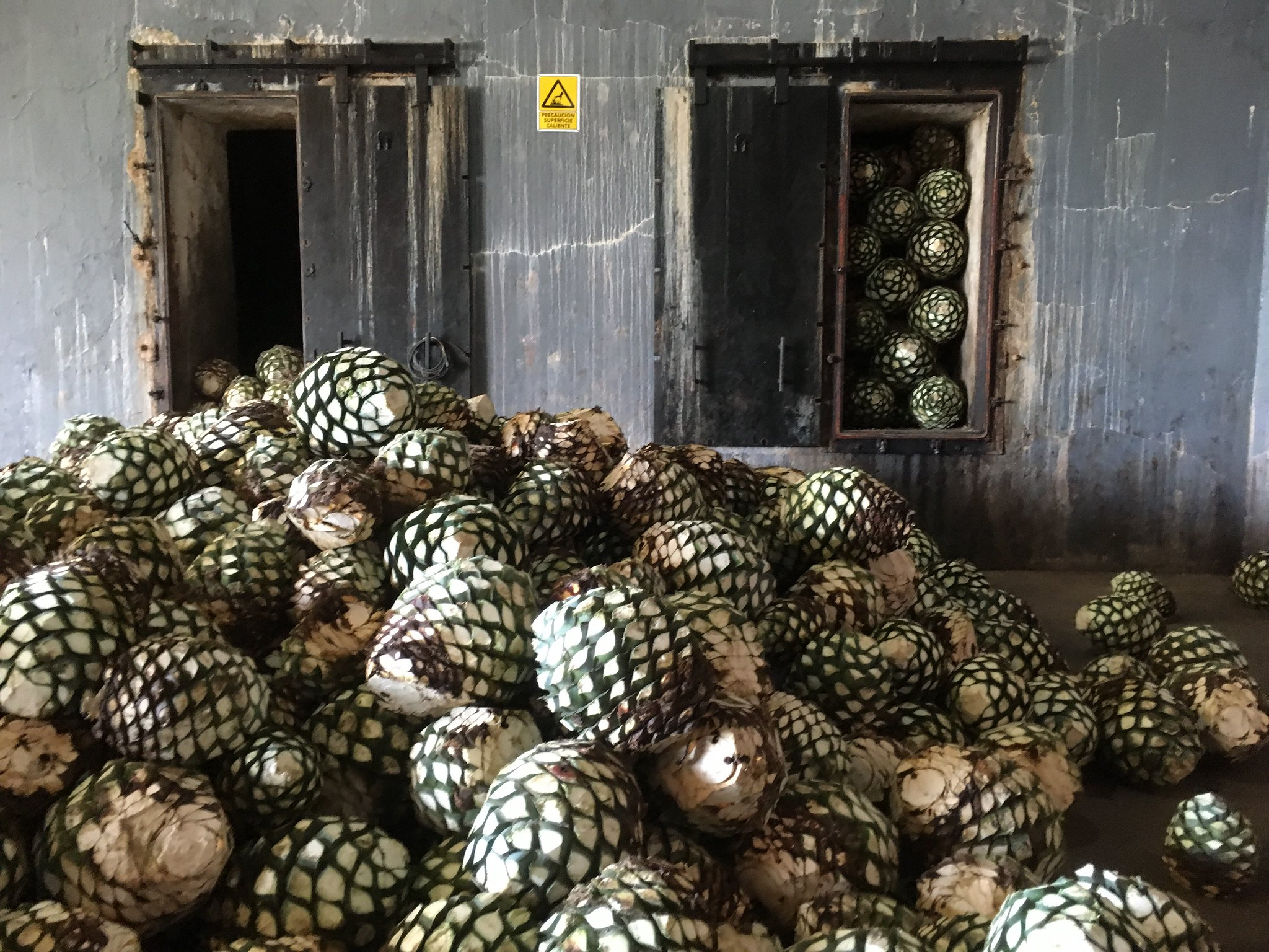 Agave piñas ready to be slow cooked, Tequila, Jalisco, México