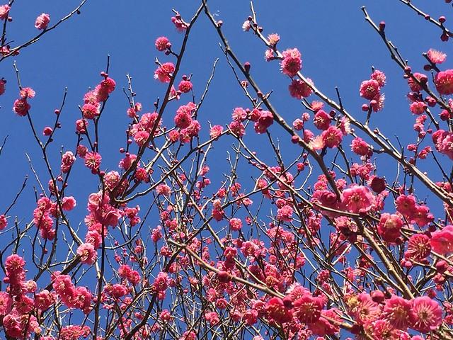 Atami The Plum Flower Festival