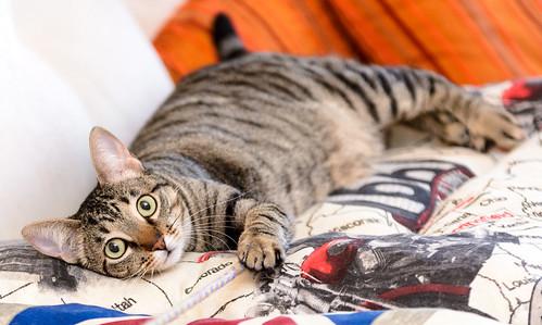 Tigris, gatita atigrada parda de ojazos verdes y cara redondita, tímida y sumisa esterilizada, nacida en Septiembre´15, en adopción. Valencia. ADOPTADA. 32607060671_2d9c02617f