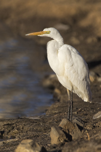 Great Egret Ardea alba 2015-06-21 (_MG_3886)