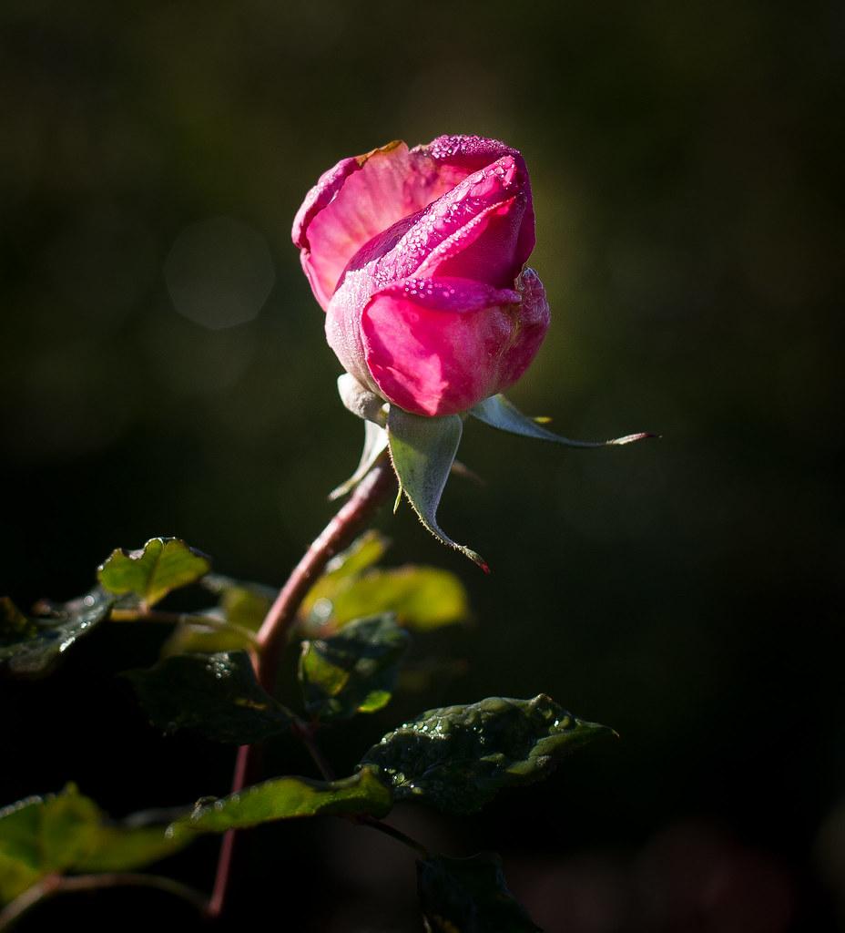 rose garden12